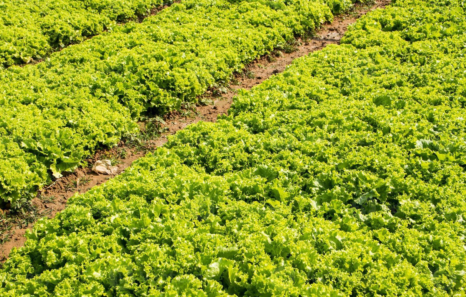 laitue à la ferme. photo
