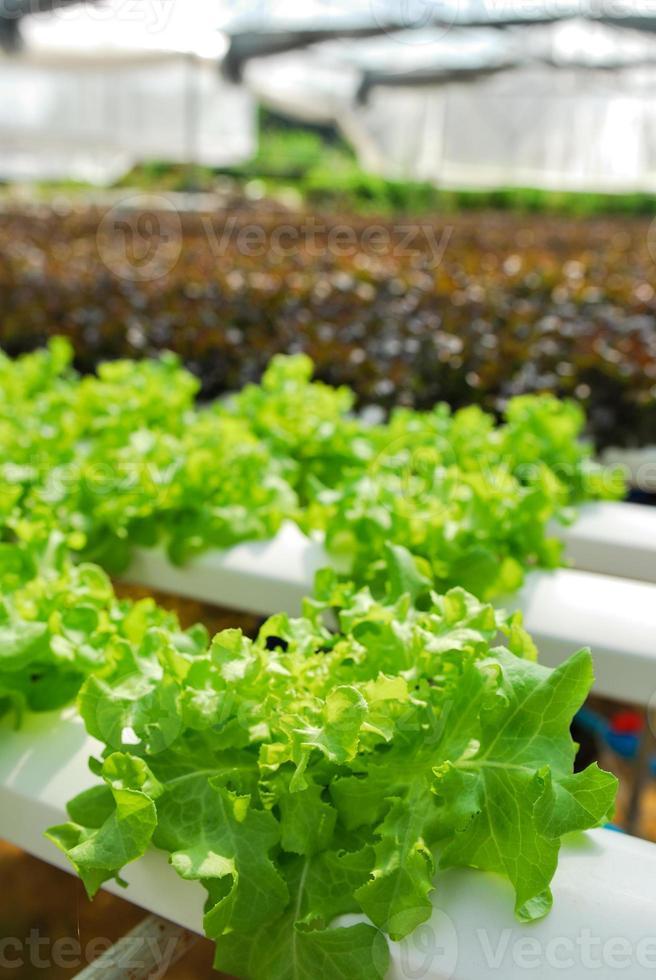 chêne rouge, chêne vert, culture hydroponique légume vert en f photo
