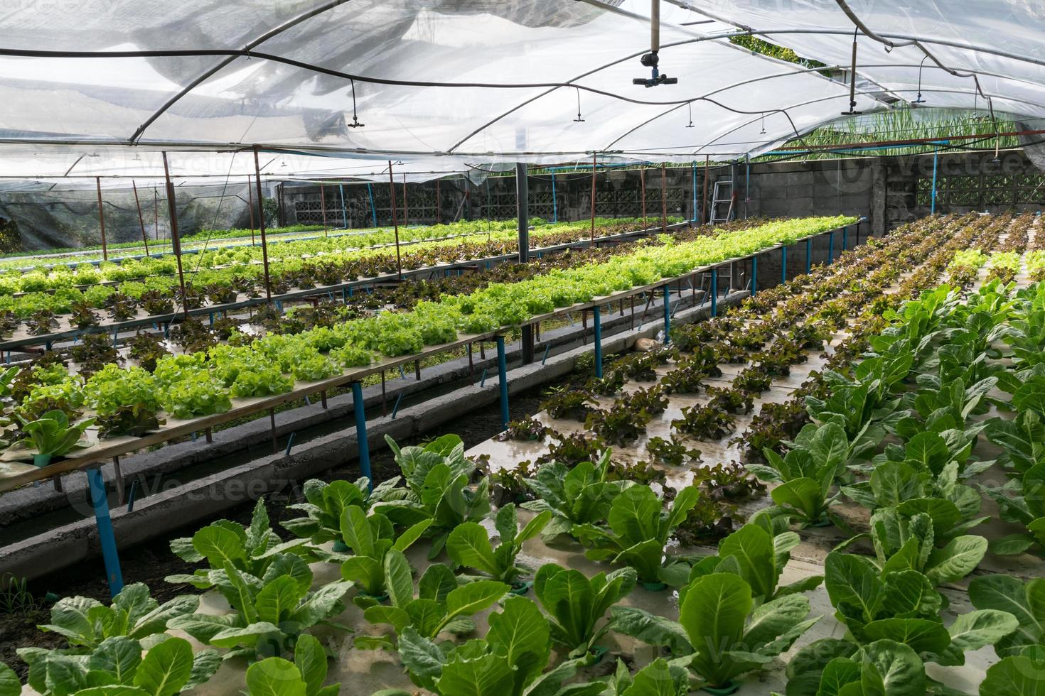 légumes hydroponiques poussant en serre photo