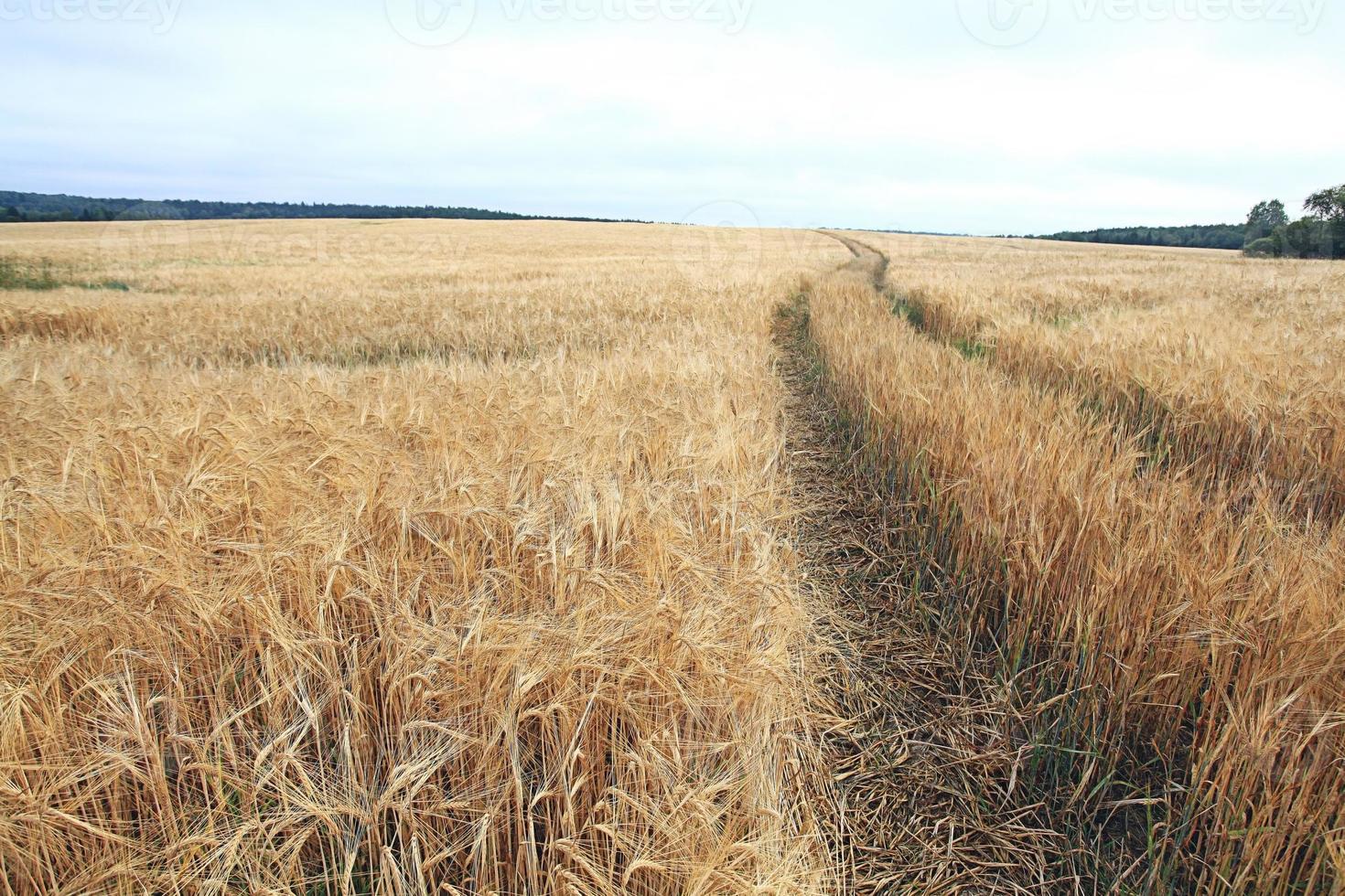paysage de texture de champ d'orge photo