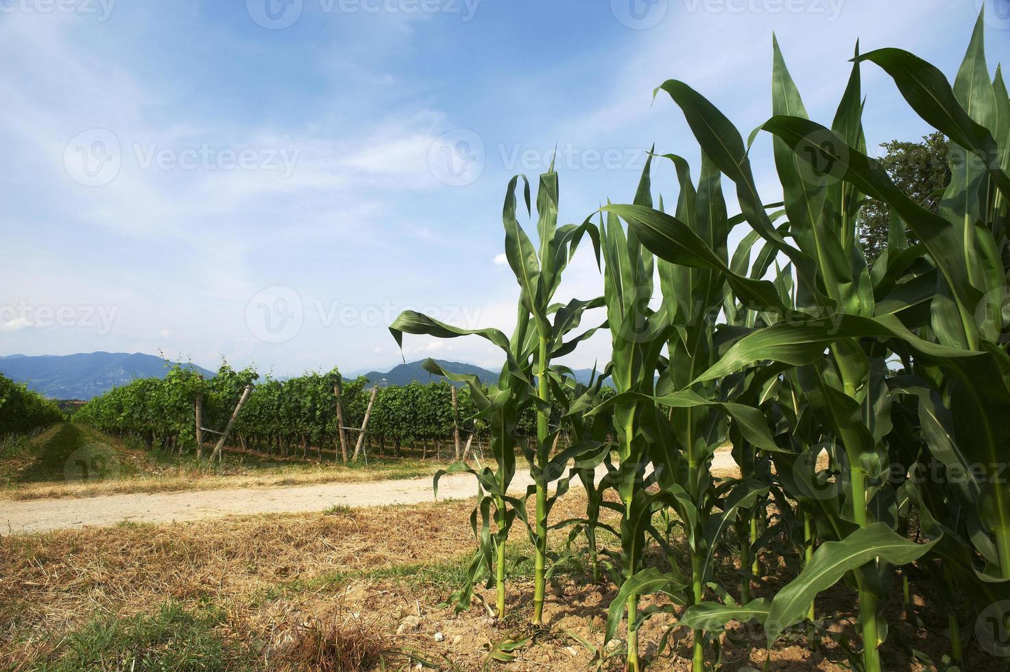 vignoble et maïs photo