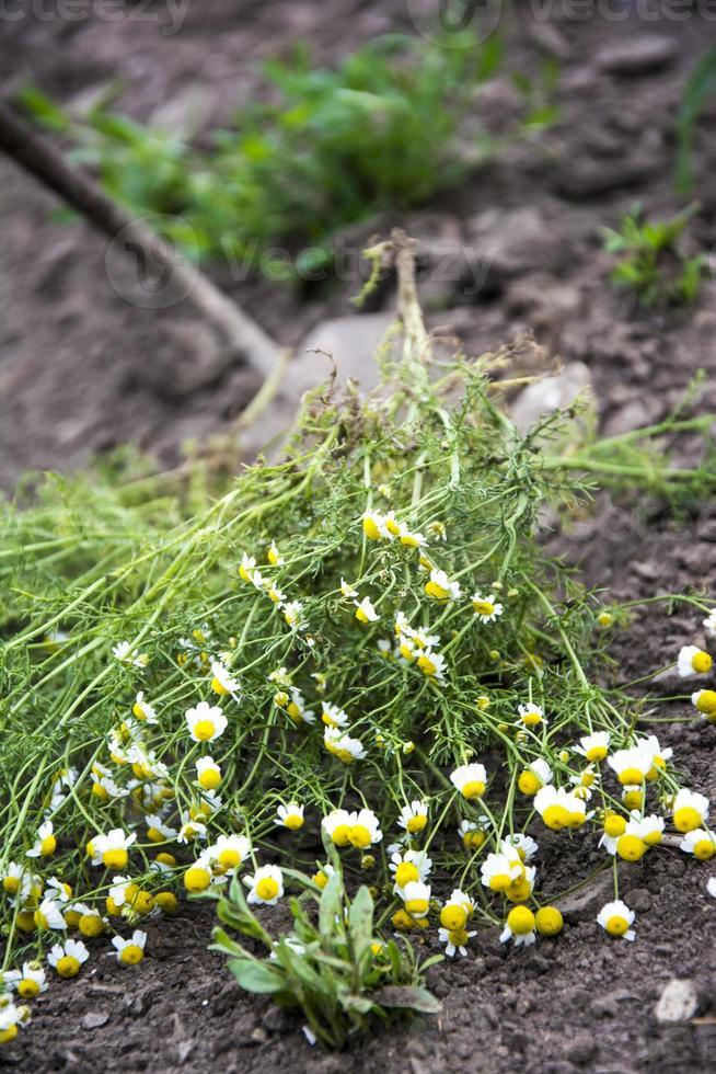 mauvaises herbes dans le champ de maïs photo