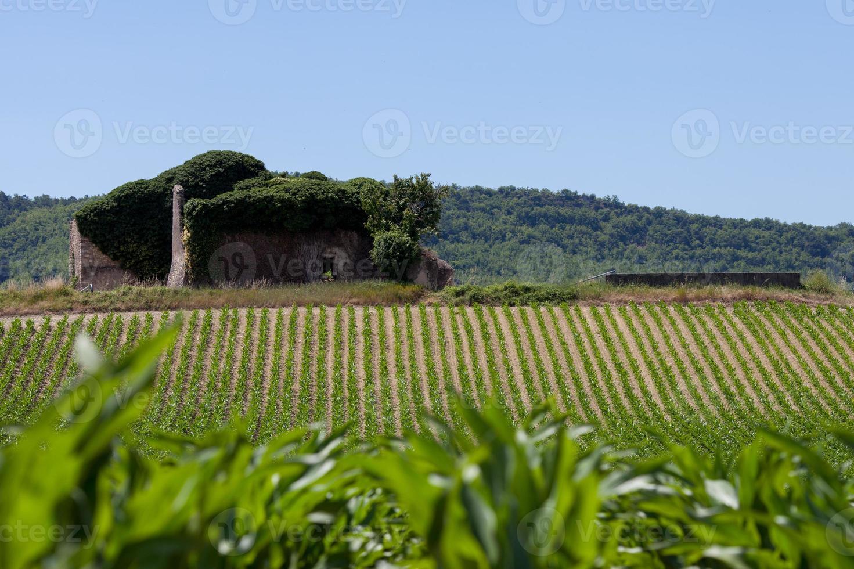 champ de maïs en provence photo