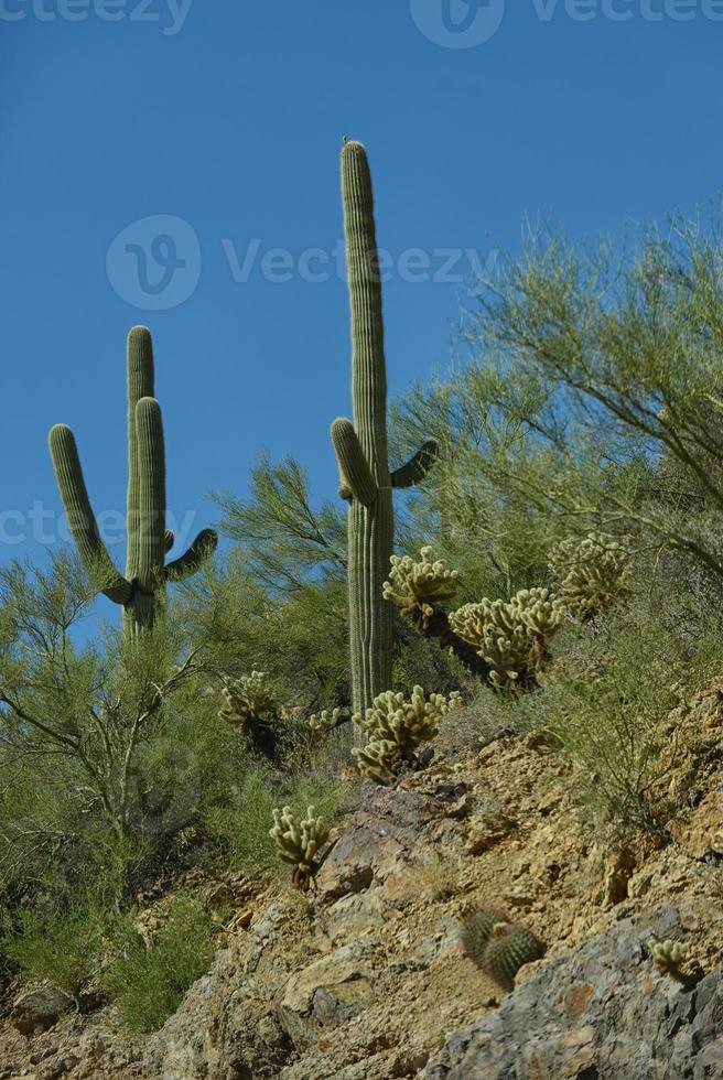 Variétés succulentes ou cactus en Arizona photo