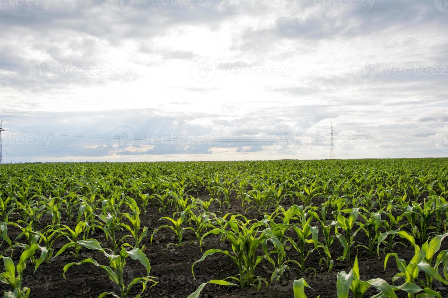 champ de maïs jeune photo