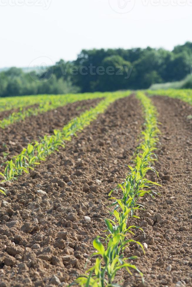 champ de maïs avec forrest photo