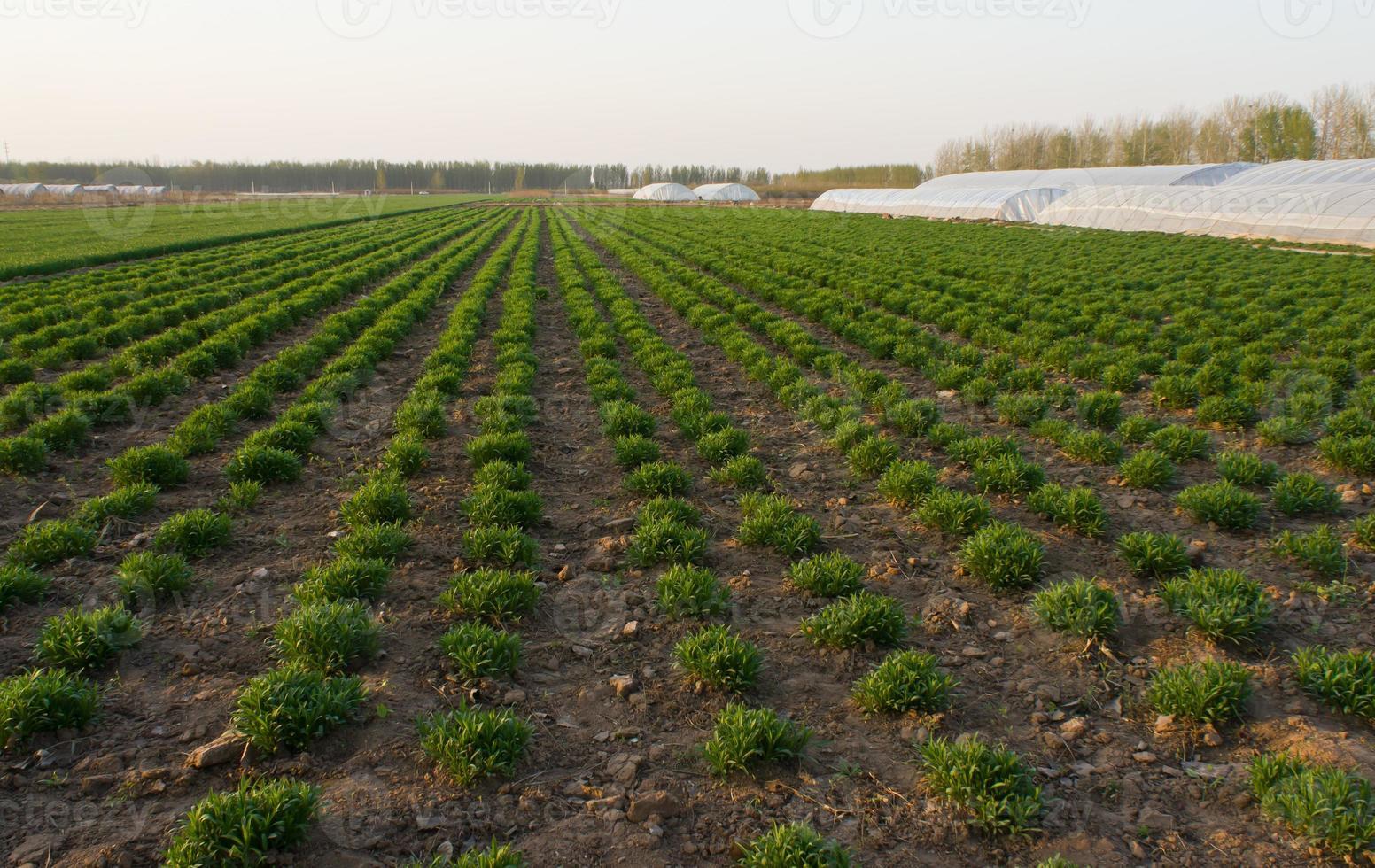 vert frais sur l'agriculture de printemps sur le terrain photo