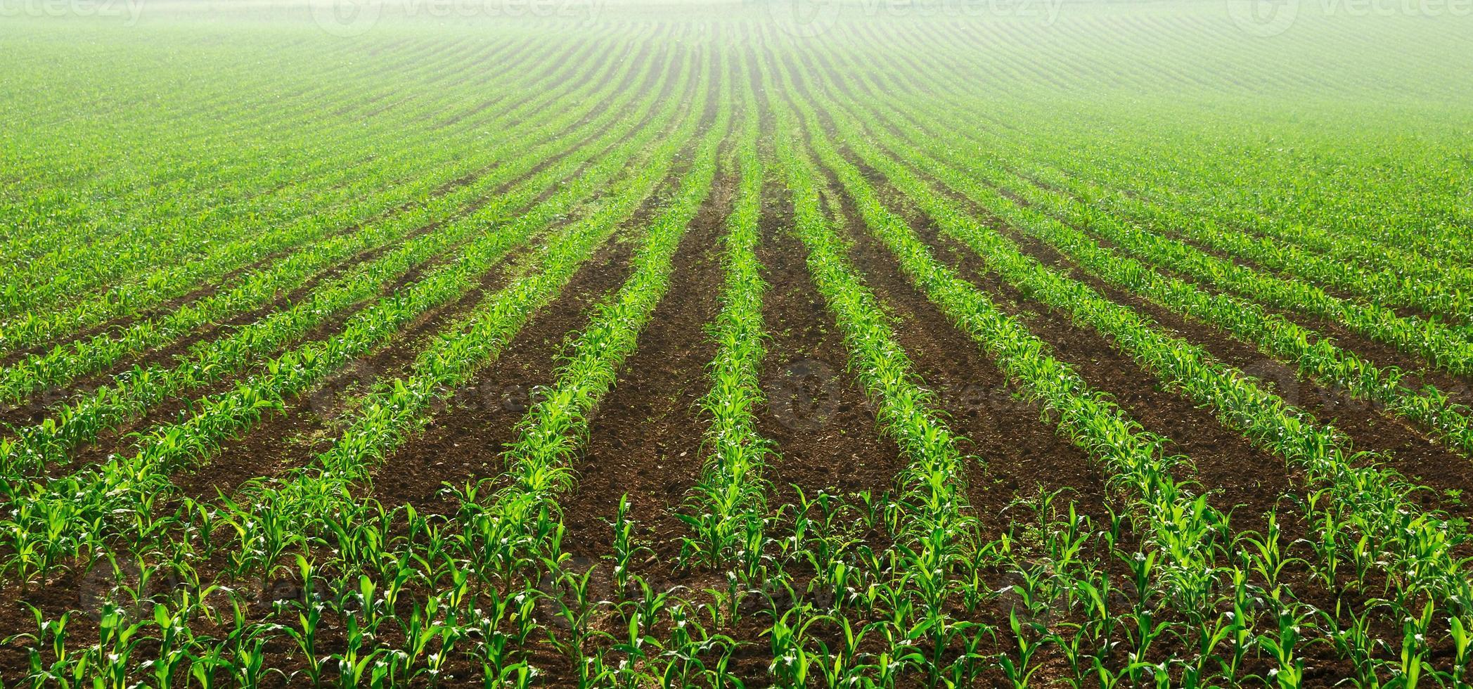 rangées de jeunes plants de maïs photo