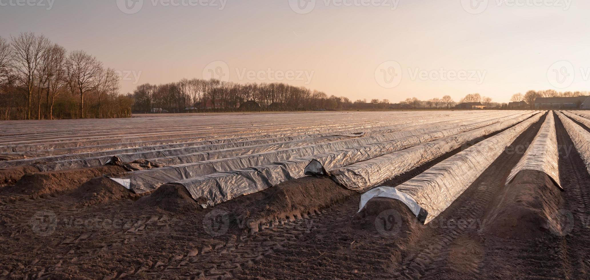 champ d'asperges en basse lumière du soleil de l'après-midi photo