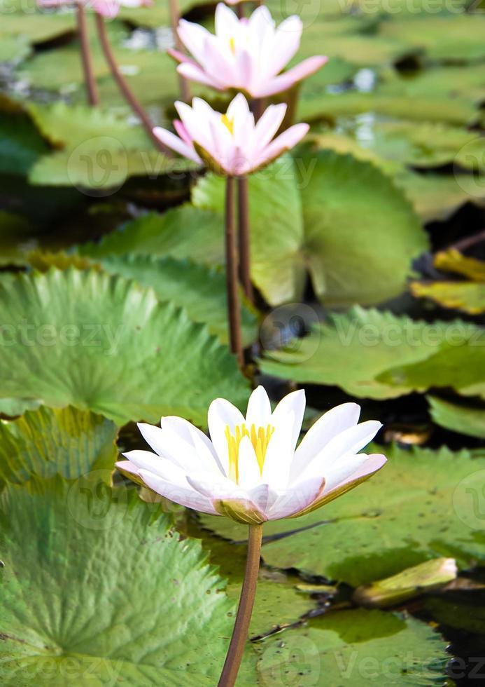 lotus dans la rivière photo