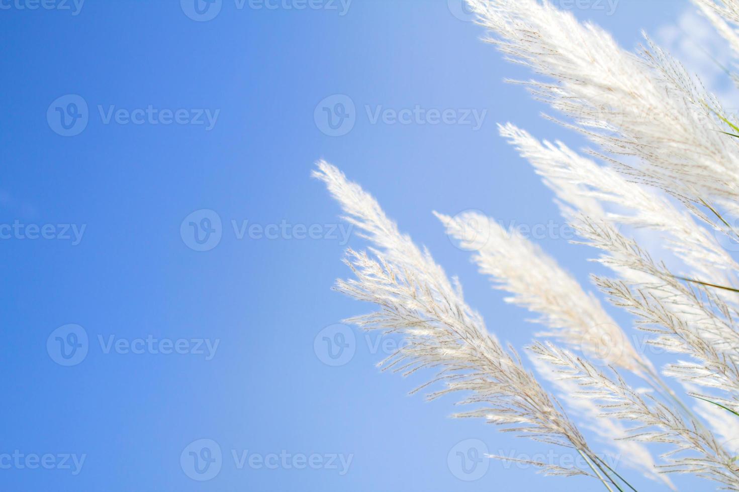 douceur plume blanche herbe avec fond bleu ciel photo