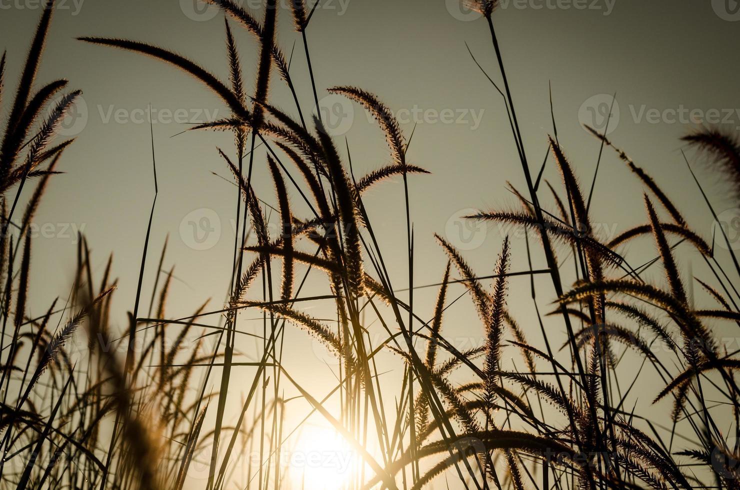 panaches d'herbe au lever du soleil photo