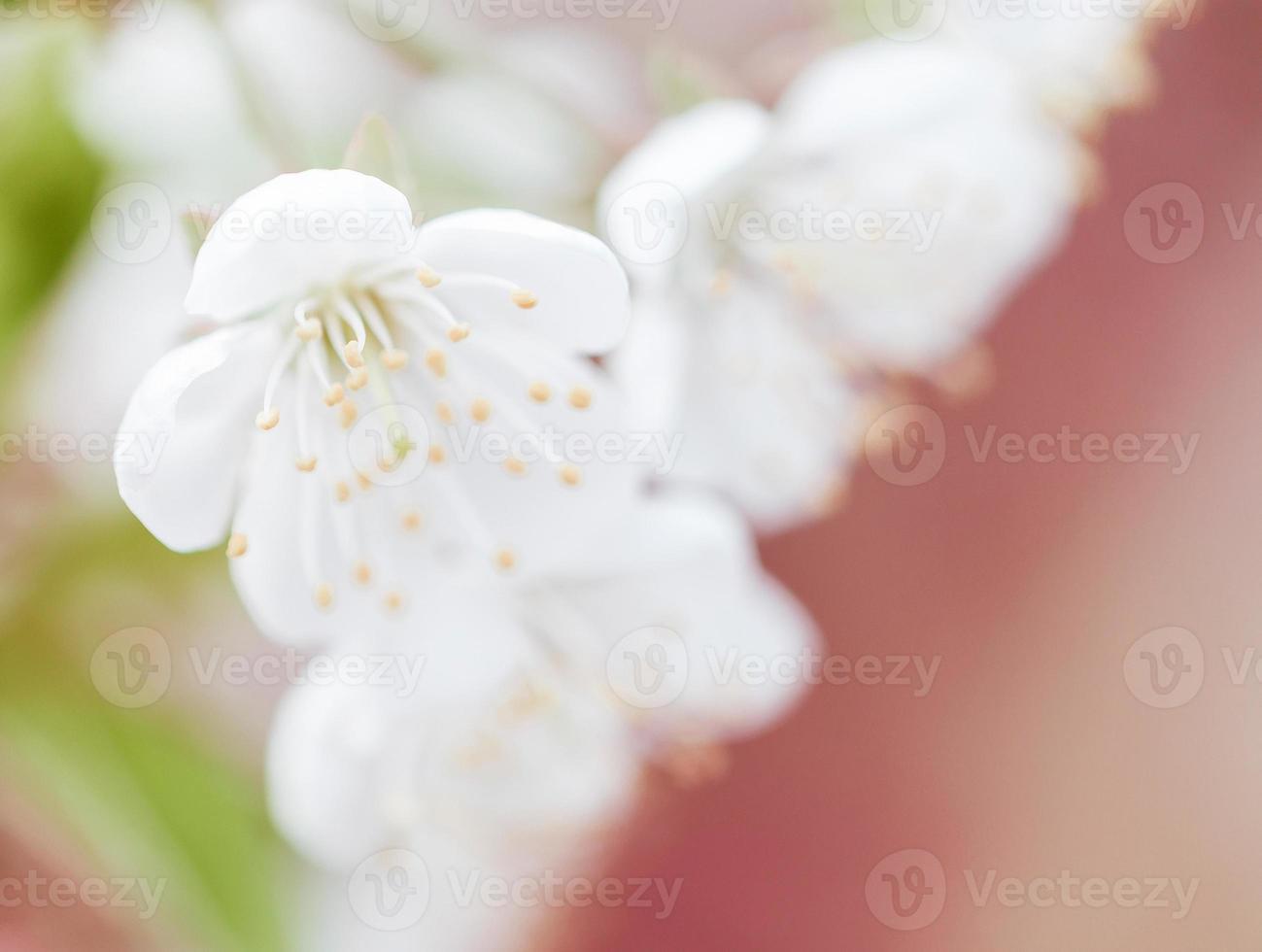 kwiat brzoskwini photo