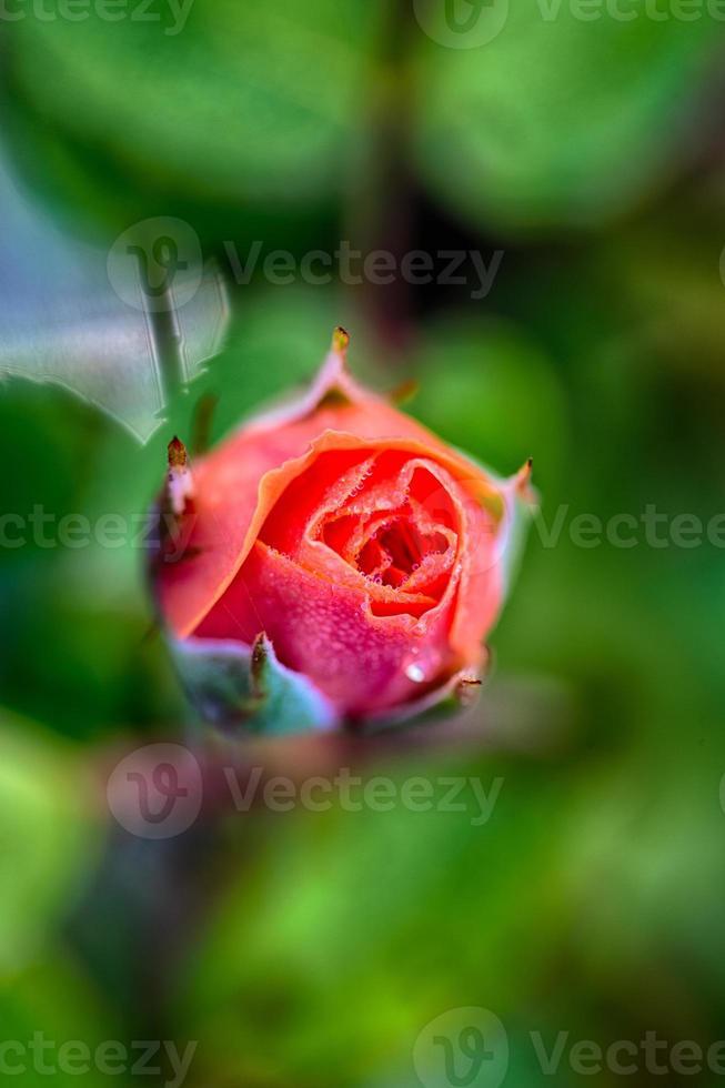 printemps rose photo