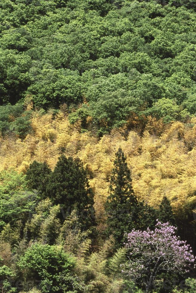 bambou de printemps photo