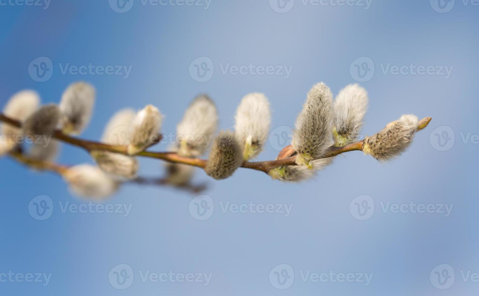 branches de printemps photo