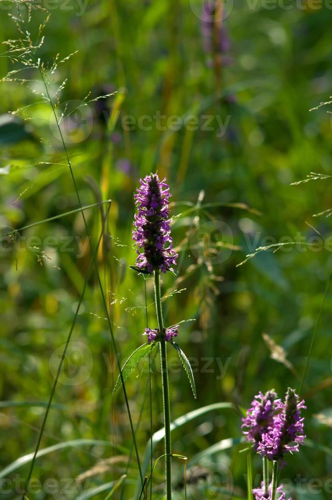 Betony pourpre (Stachys officinalis) dans un gros plan de forêt photo
