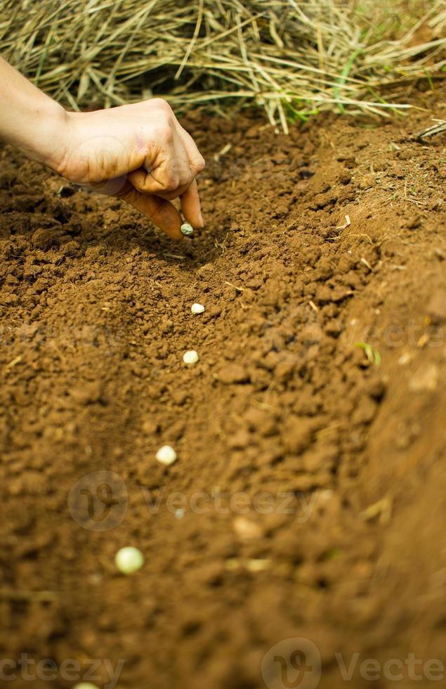 planter des graines de pois photo