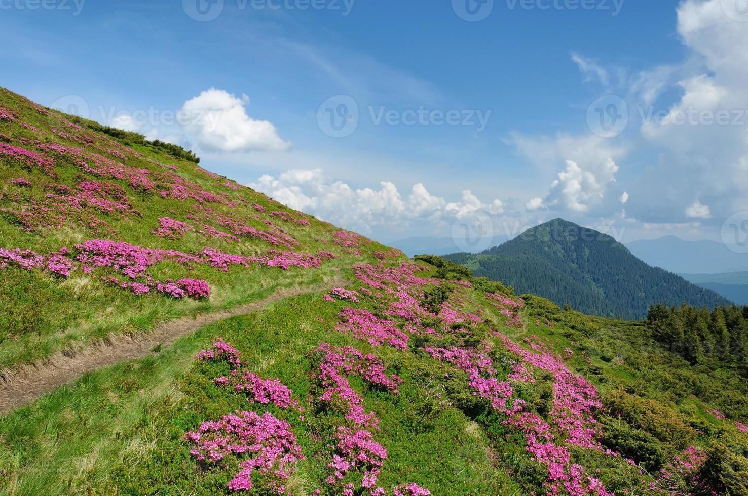 paysage d'été avec des pentes de montagne en fleurs. photo