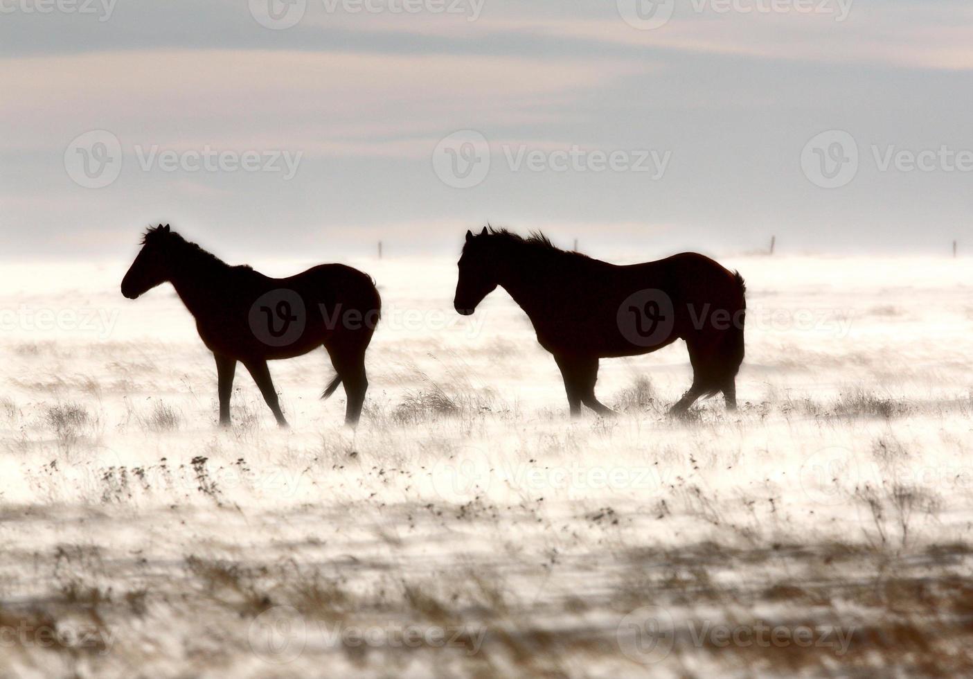 chevaux en hiver photo