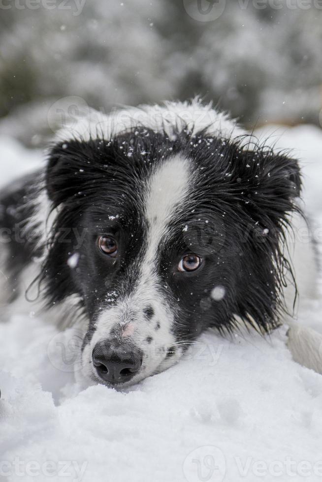 border collie dans la neige photo