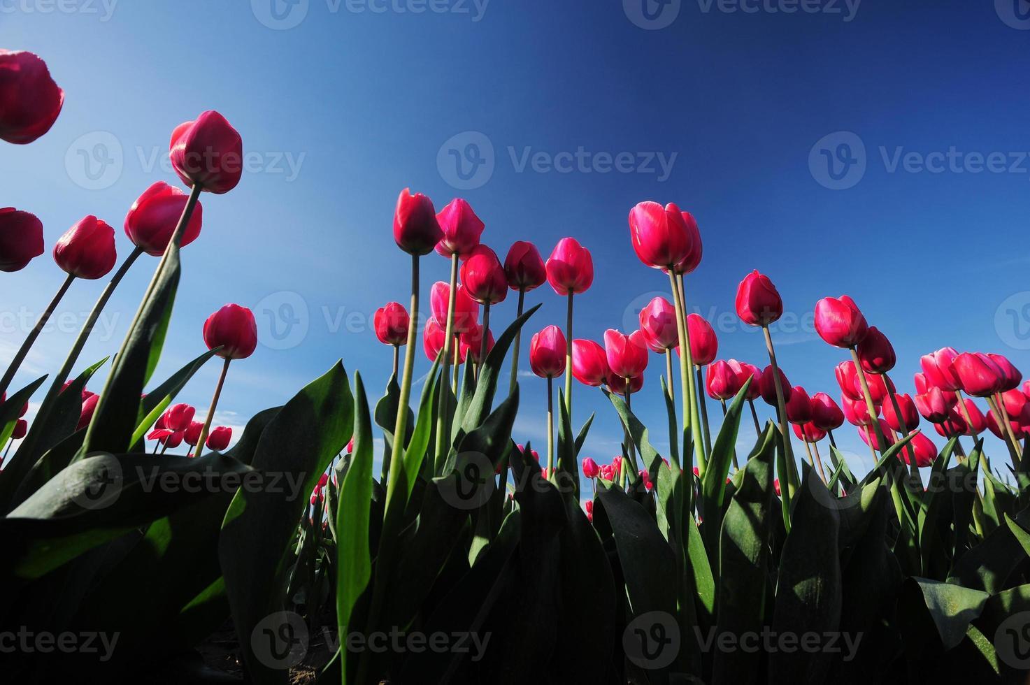 tulipe rouge photo