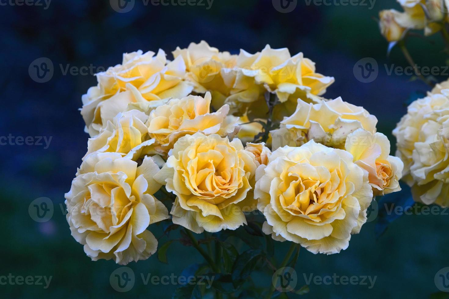 roses jaunes photo