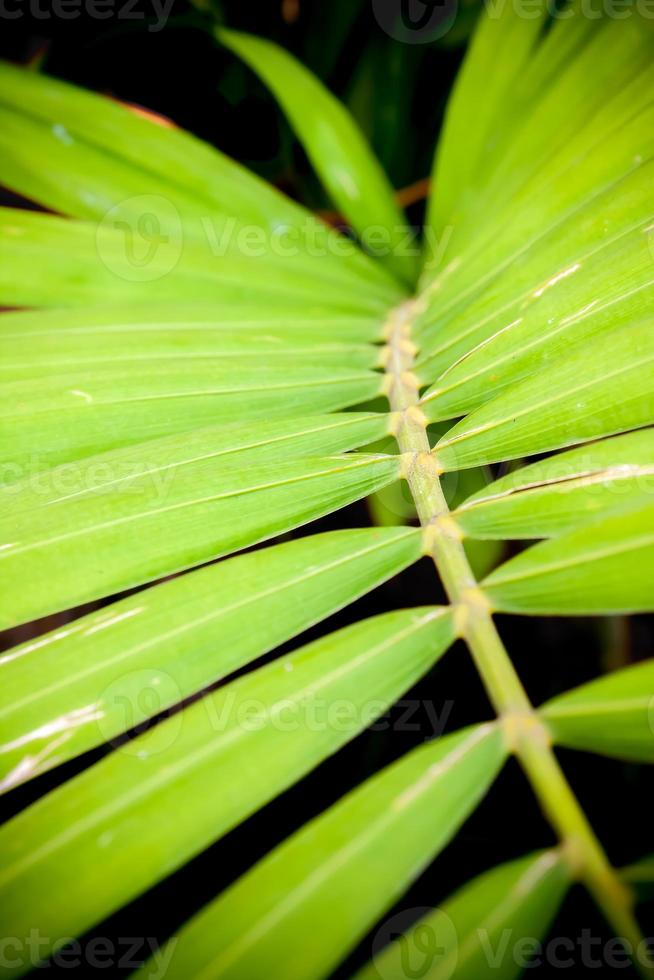 gros plan des feuilles de palmier à bétel photo