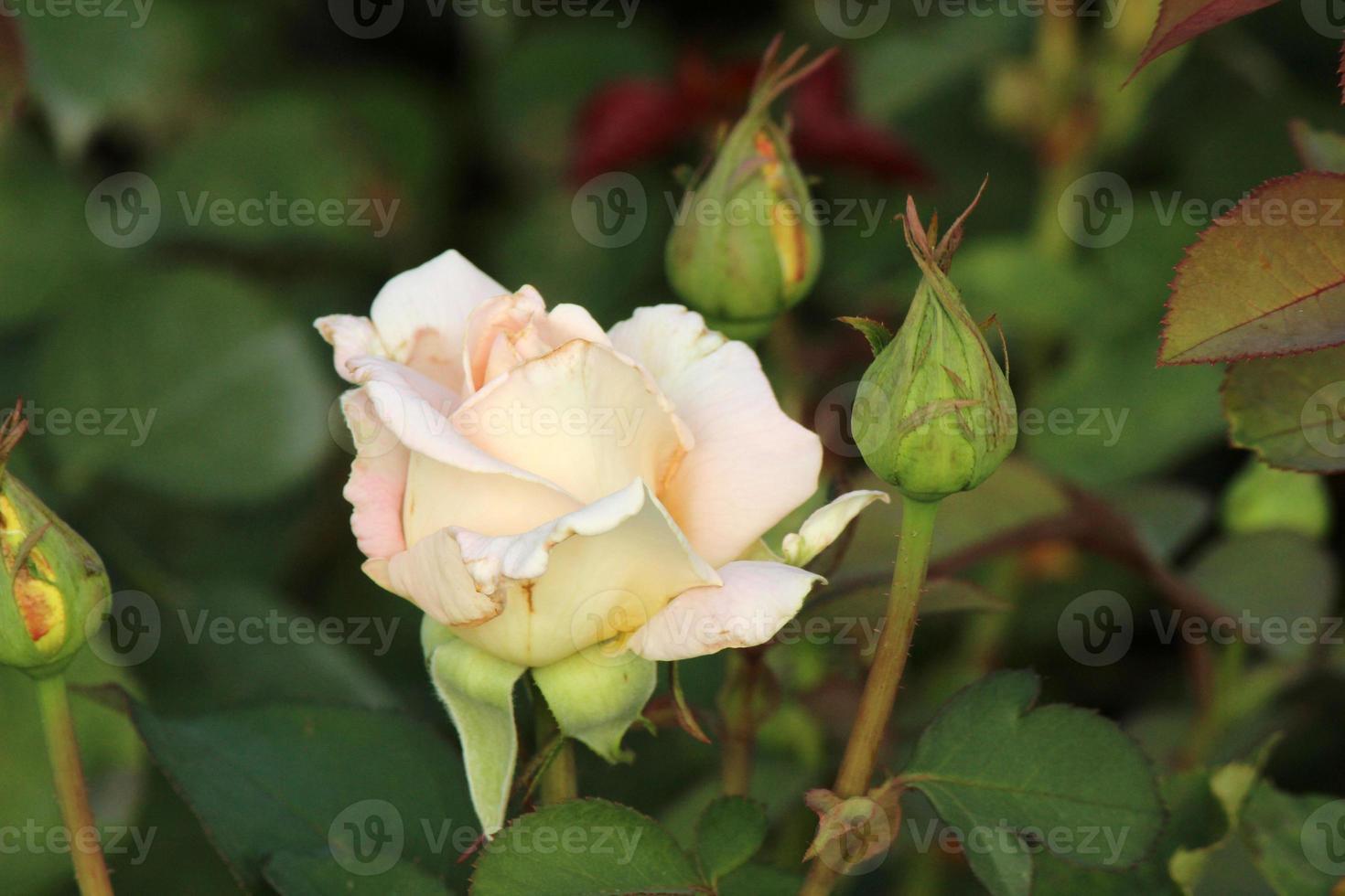 Rosa 'henri salvador' - rose photo