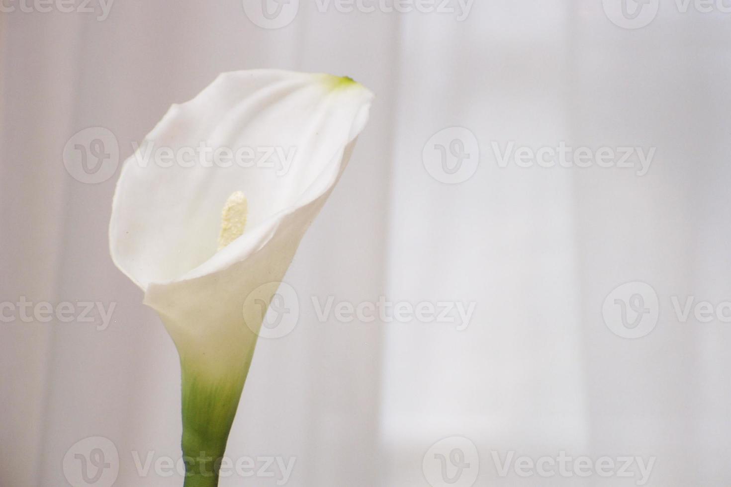 calla lilly photo