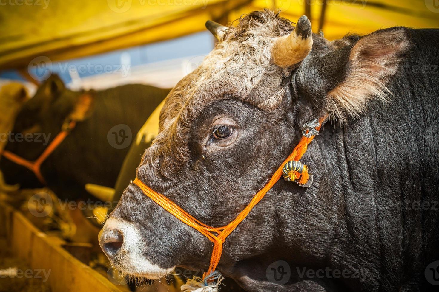ventes de taureaux pour eid al-adha photo
