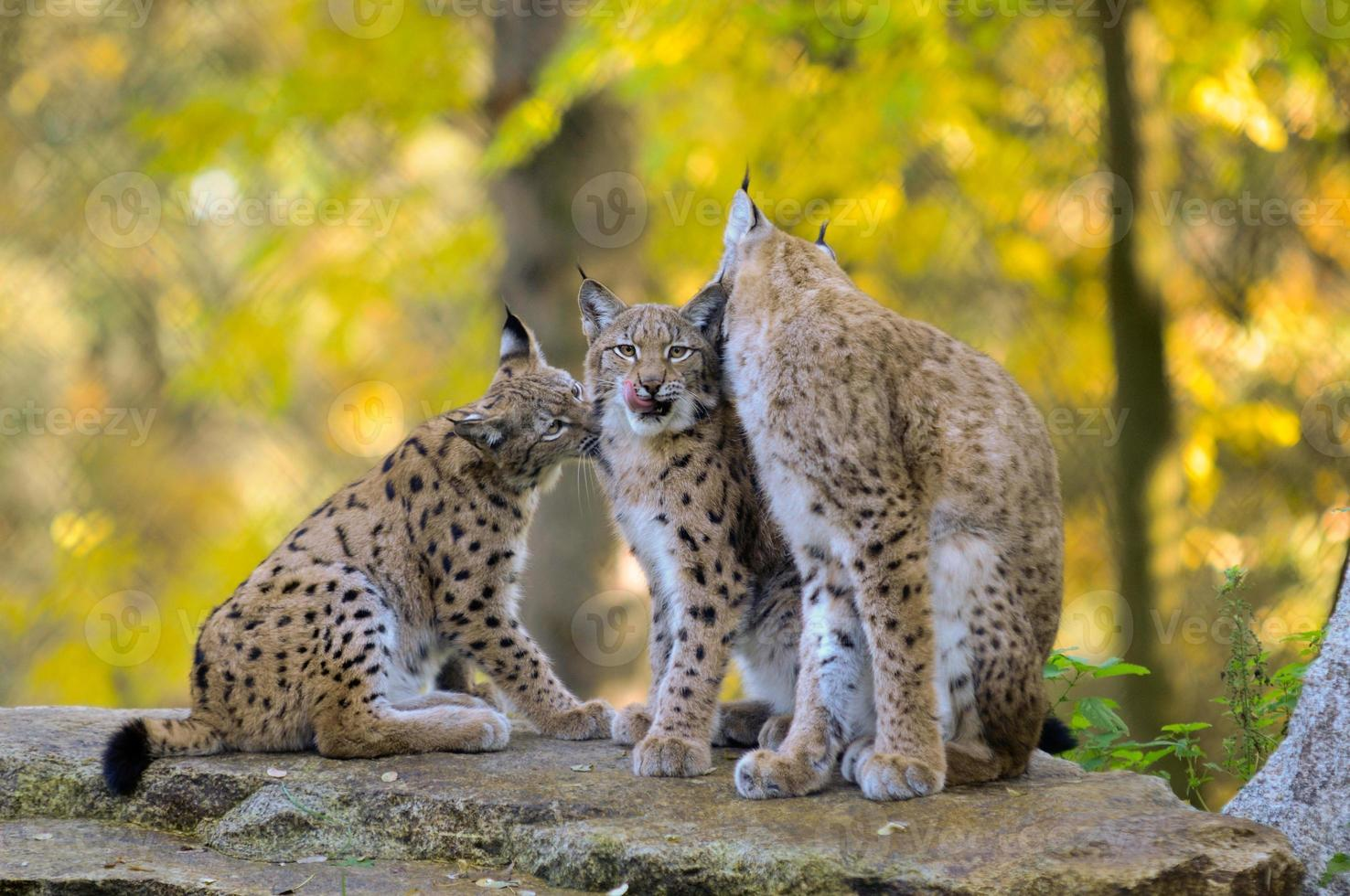 famille lynx photo