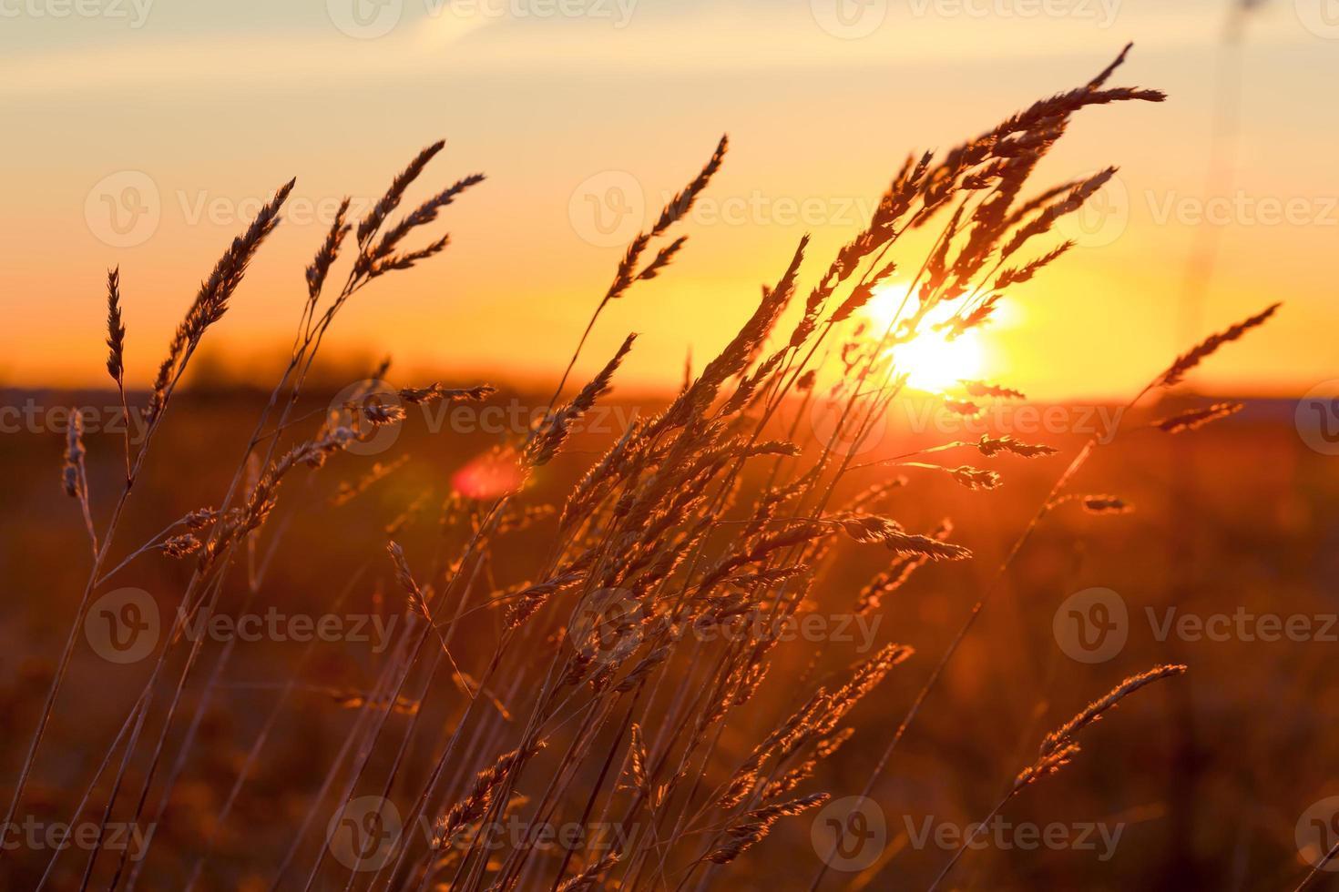 herbe au coucher du soleil photo