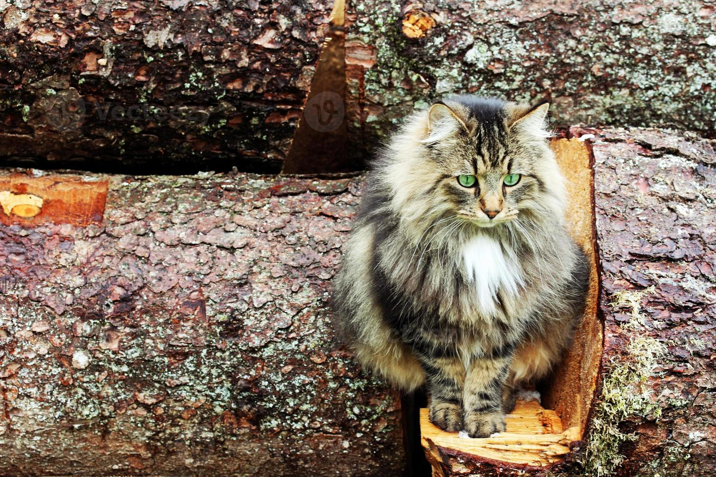 jeune joli chat des forêts norvégiennes photo