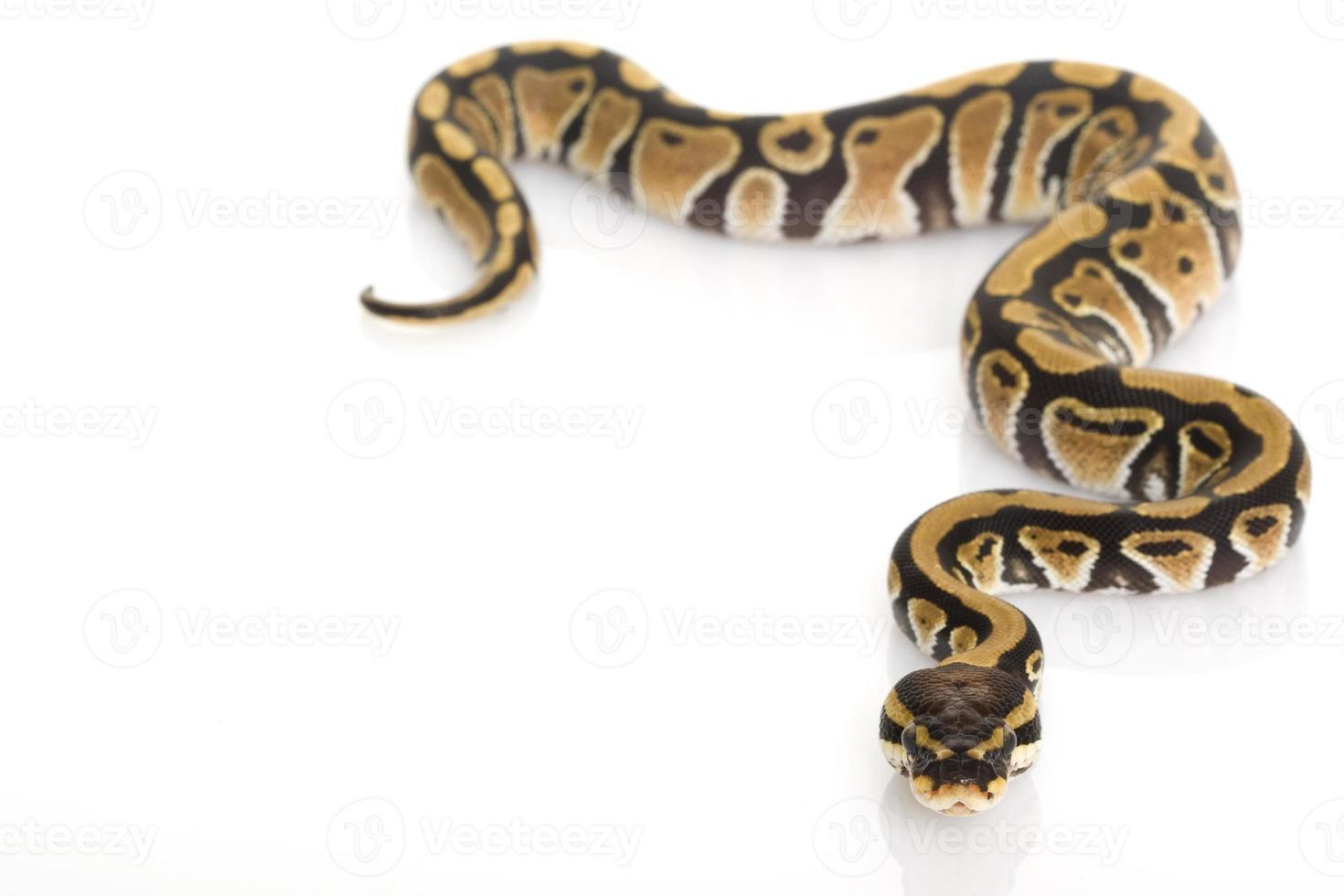 python boule photo