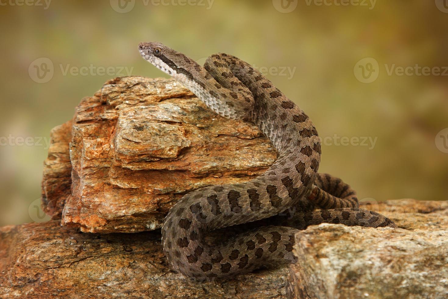 serpent à sonnettes à deux points sur les rochers du désert photo