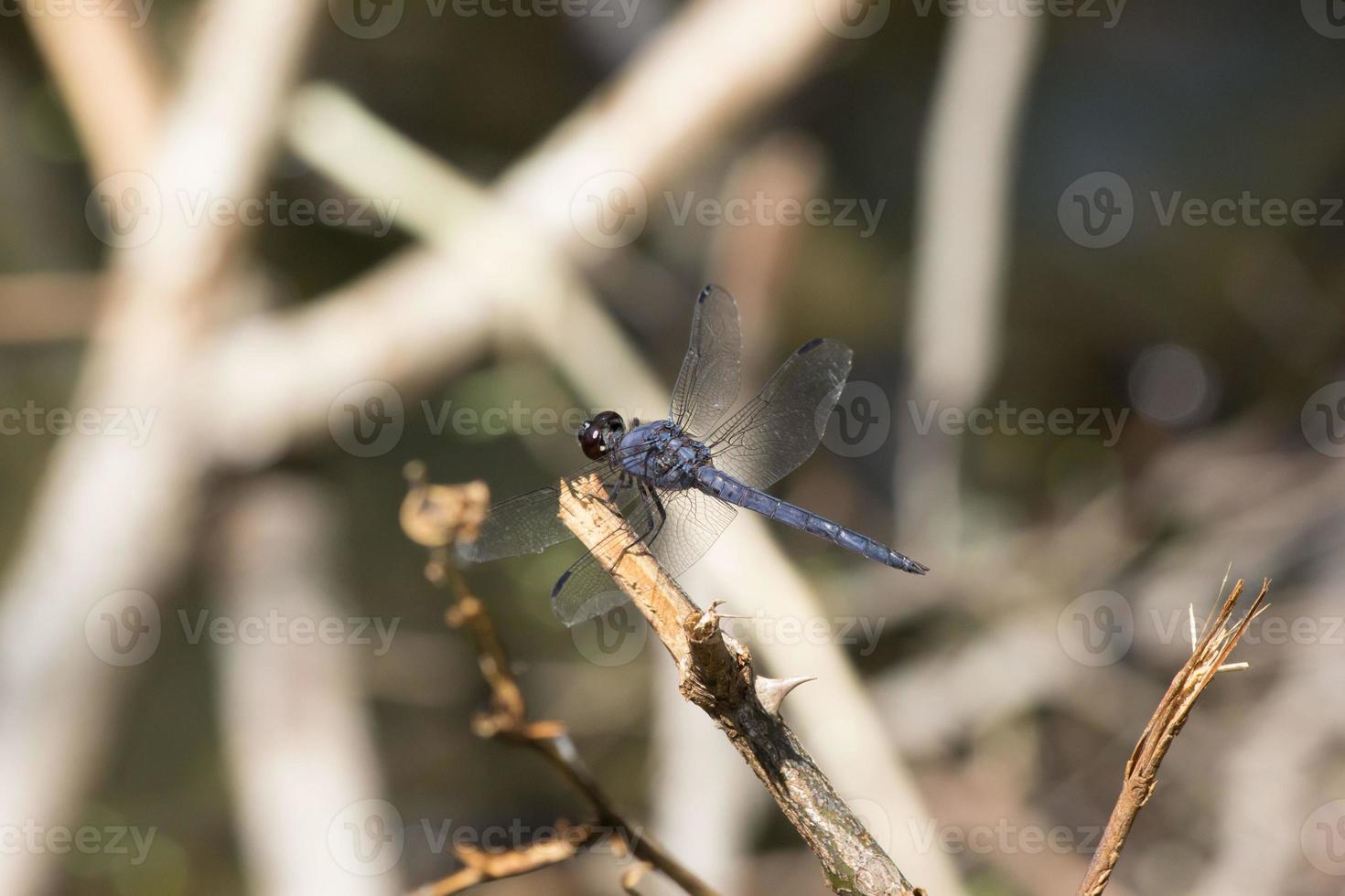 mouche de dragon photo