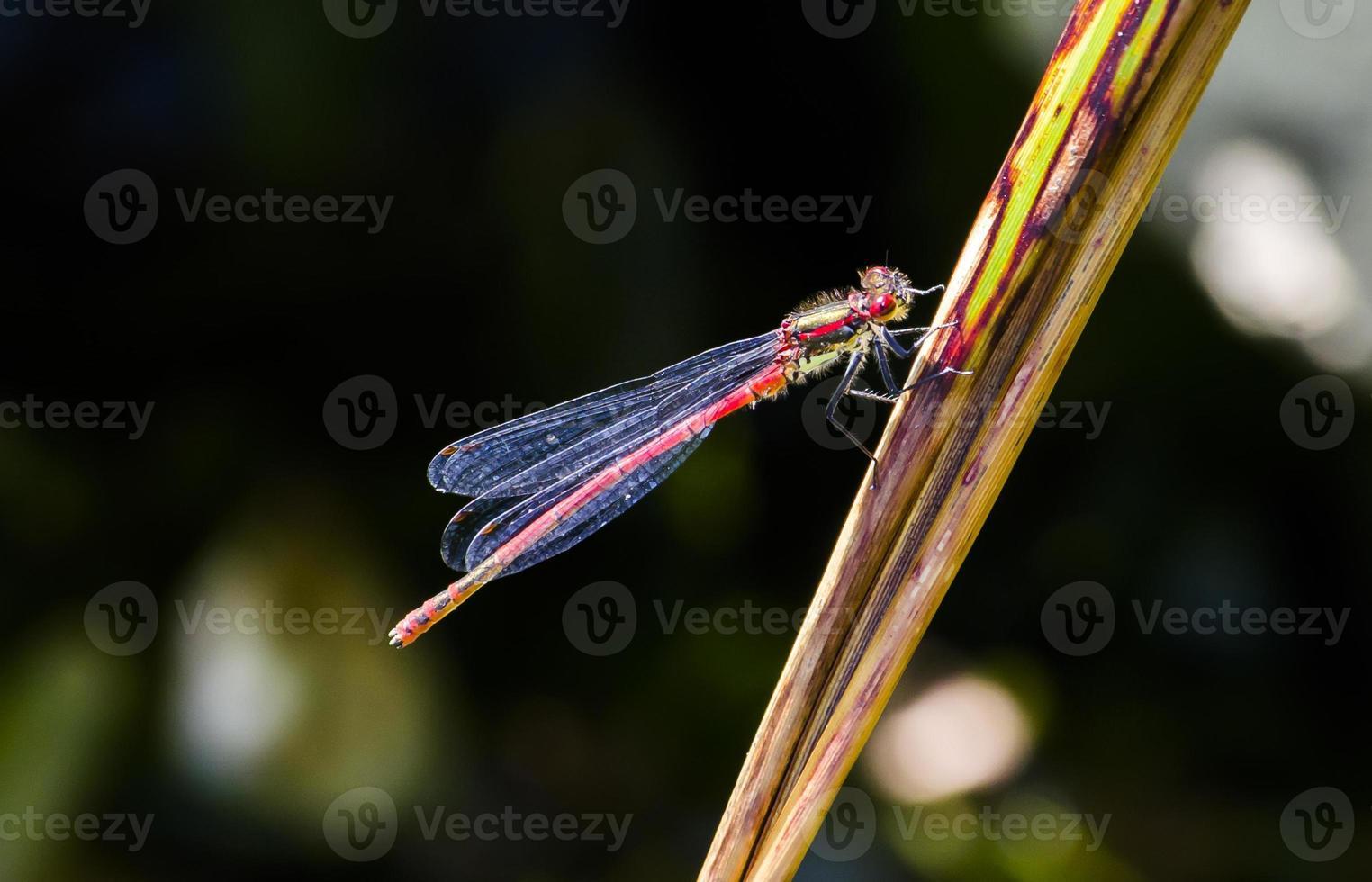 mouche rouge demoiselle photo