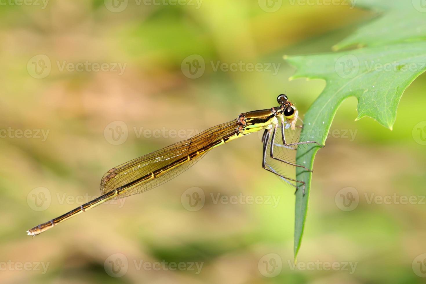 demoiselle-mouche sur l'herbe photo