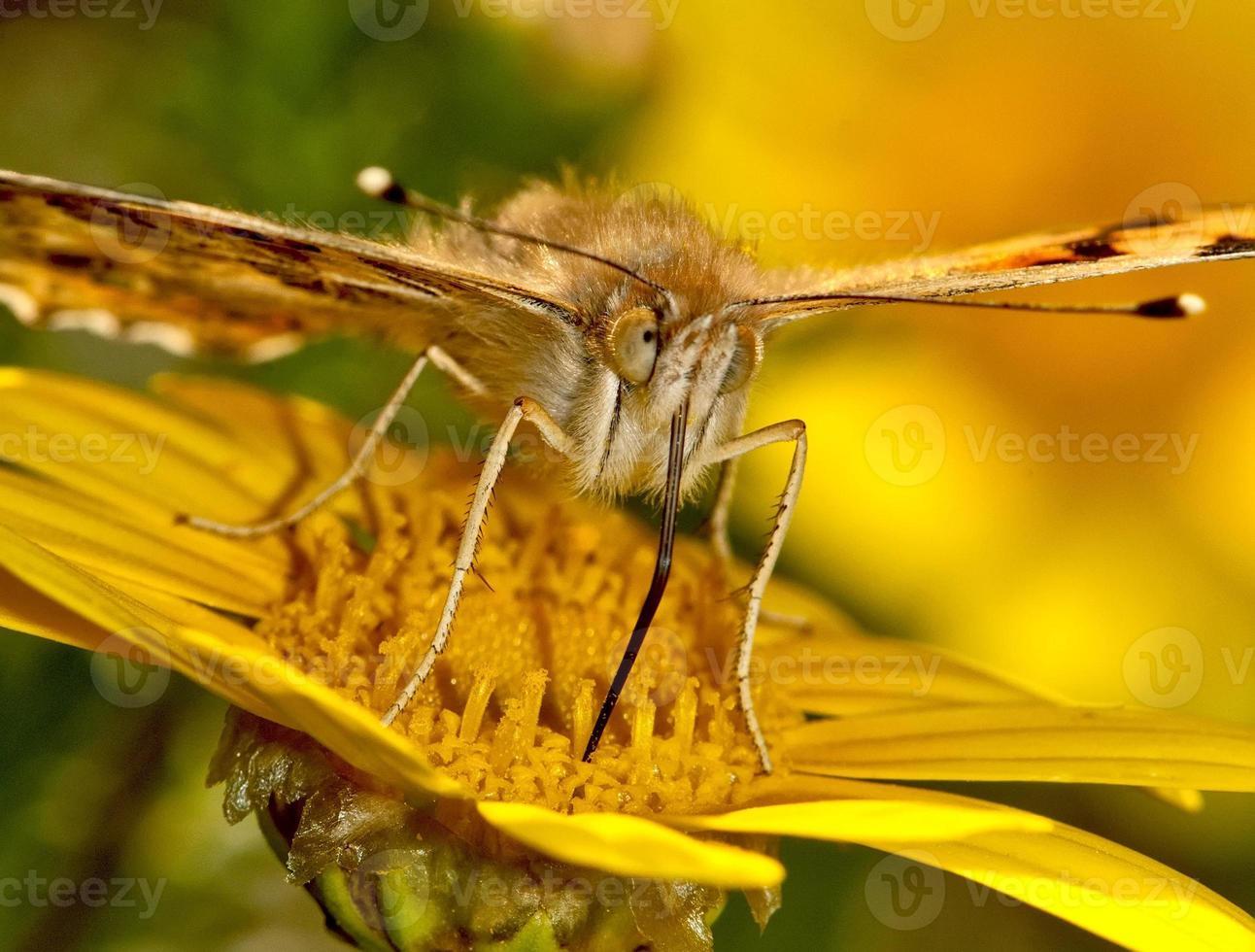 papillon peint dame sucer le nectar d'un flowr photo