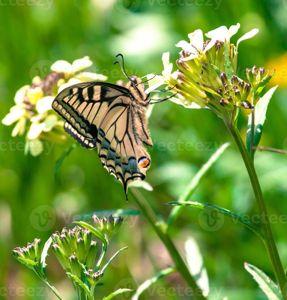 papillon machaon photo