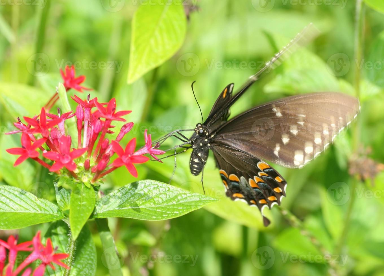 papillon machaon sur fleur photo