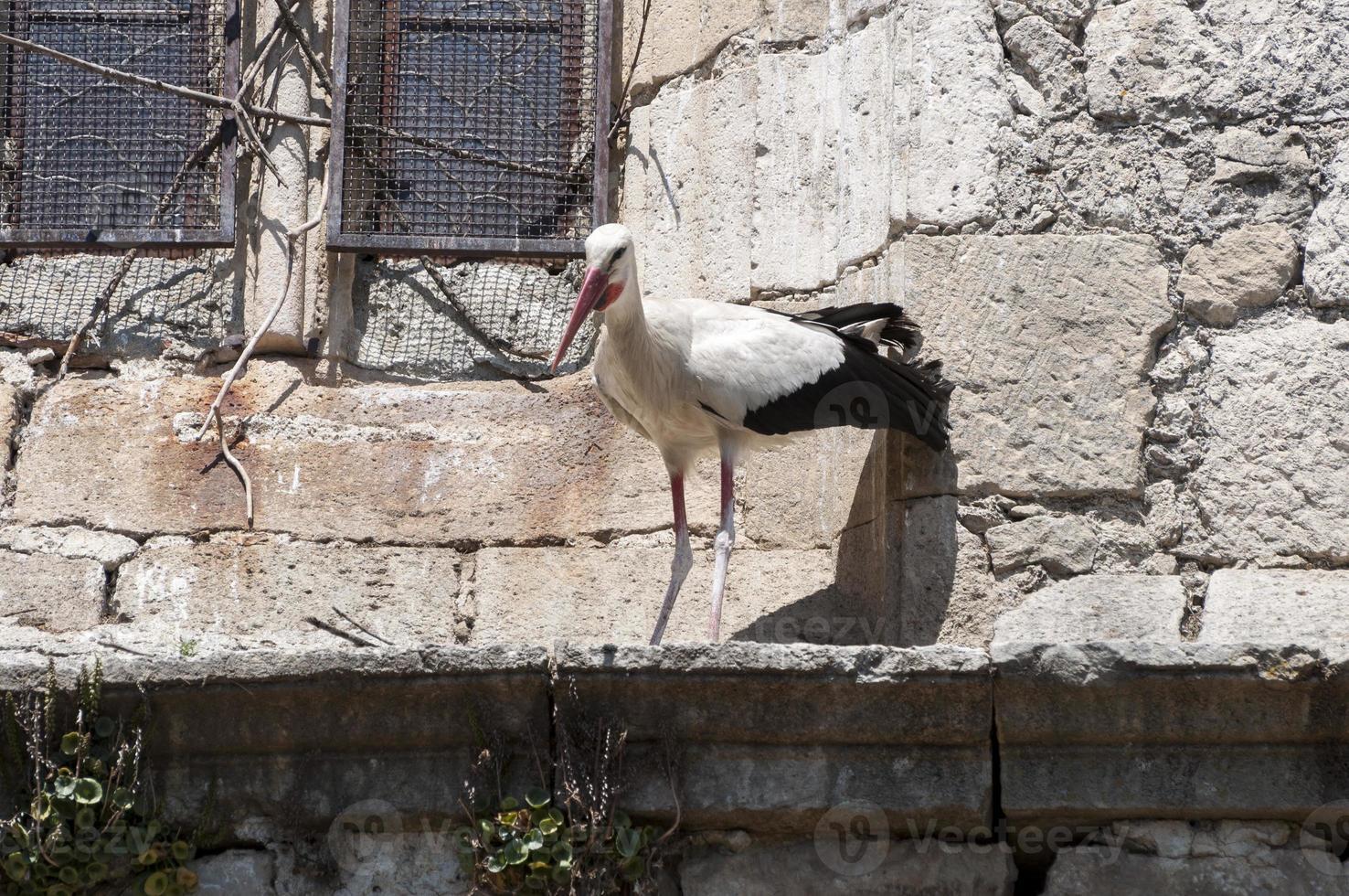 cigogne blanche, ciconia ciconia photo