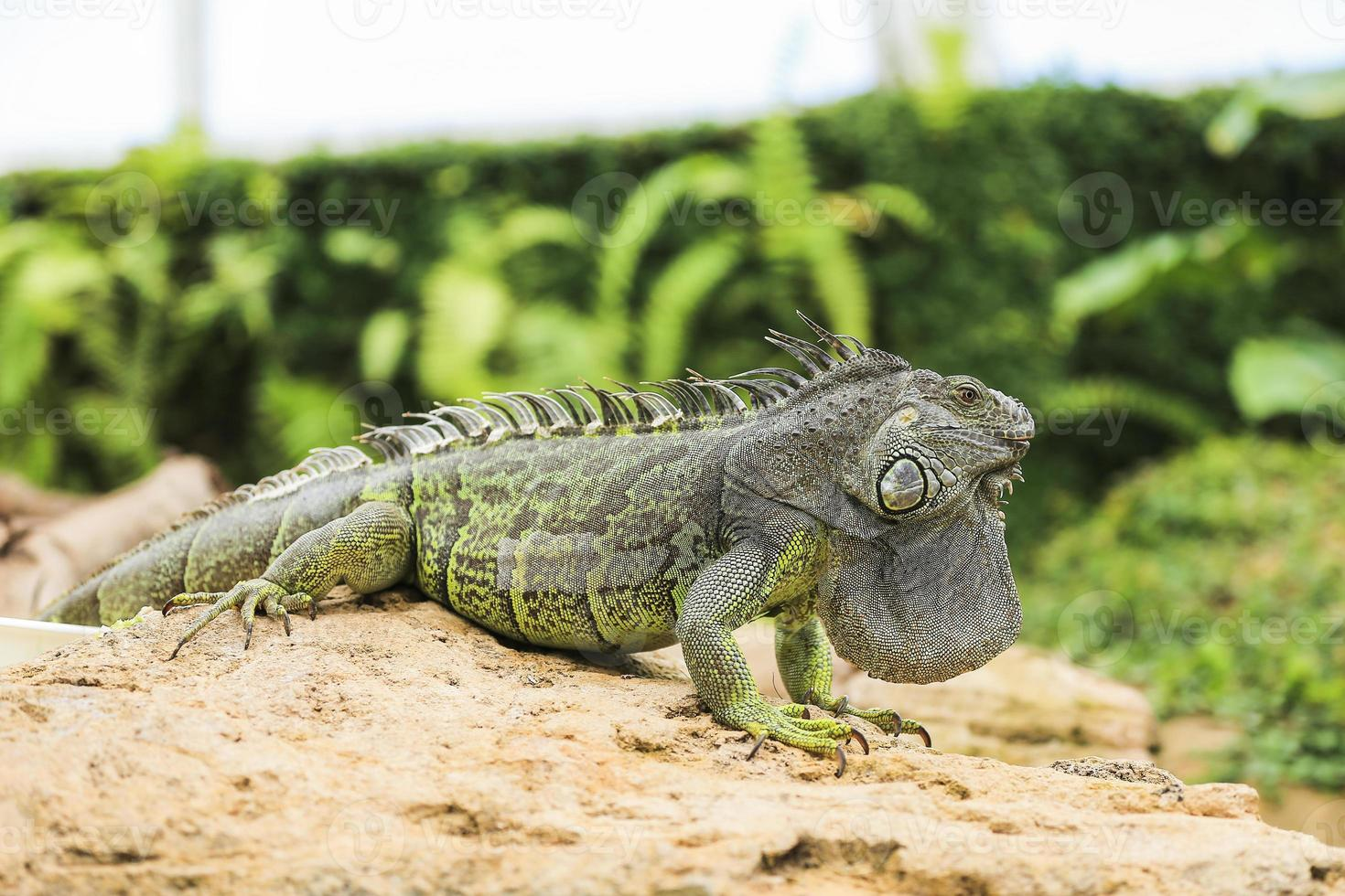iguana verde photo