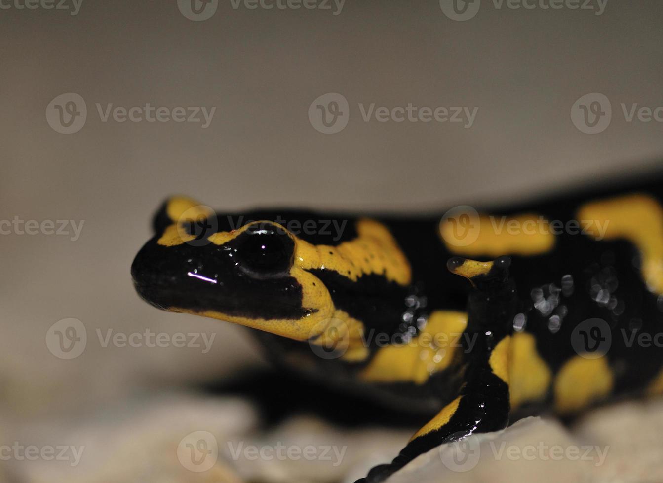 salamandre photo