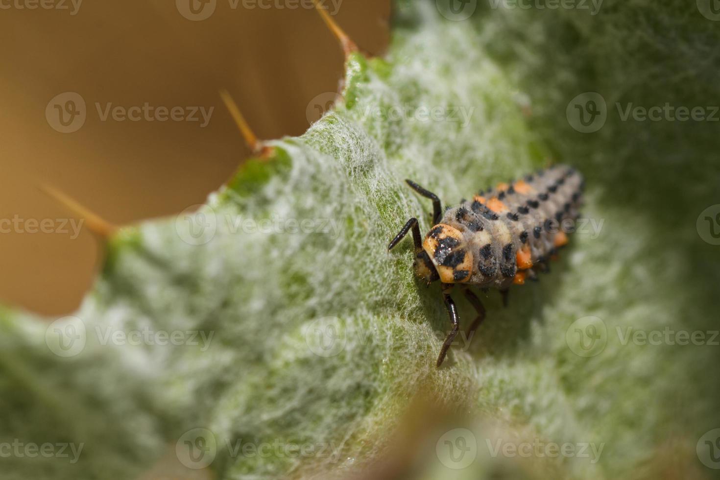 larve de coccinelle photo