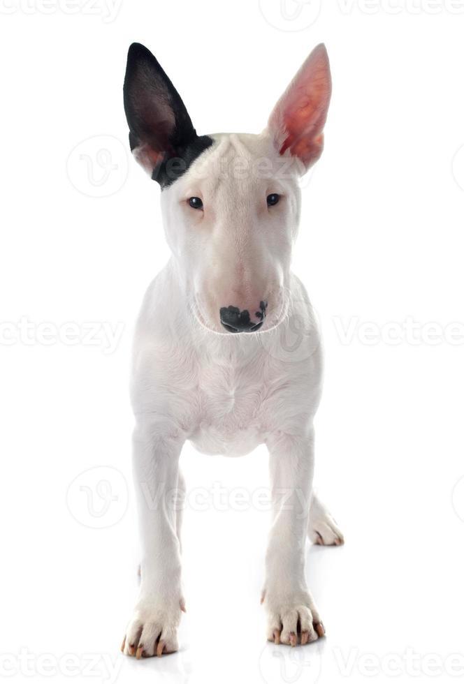 chiot bull terrier photo
