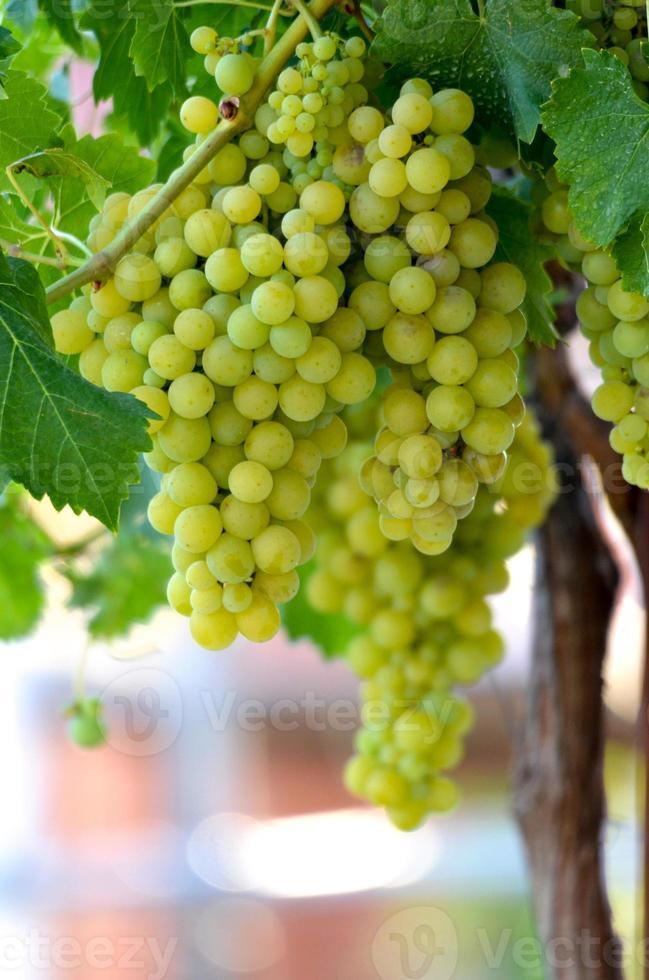 raisins dans le vignoble, cave, vin, matin, photo