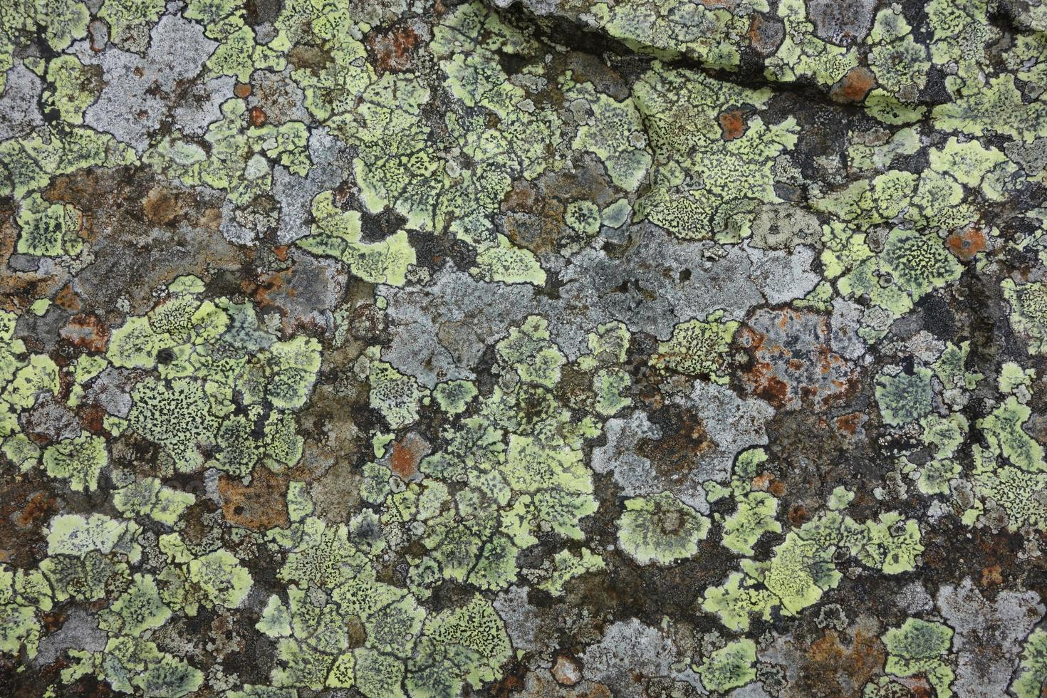 lichen sur rocher photo