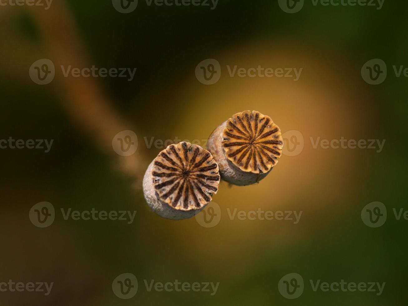 pavot de maïs photo
